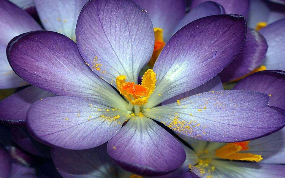 Download purple flower yellow centre wallpaper getwalls mightylinksfo