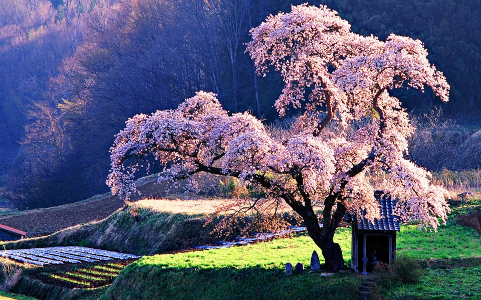 Download Cherry Blossom 4k Hd 2020 Iphone Mobile Wallpaper Getwalls Io