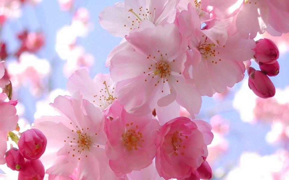 Download Cherry Blossoms 4K Ultra HD iPhone Desktop ...