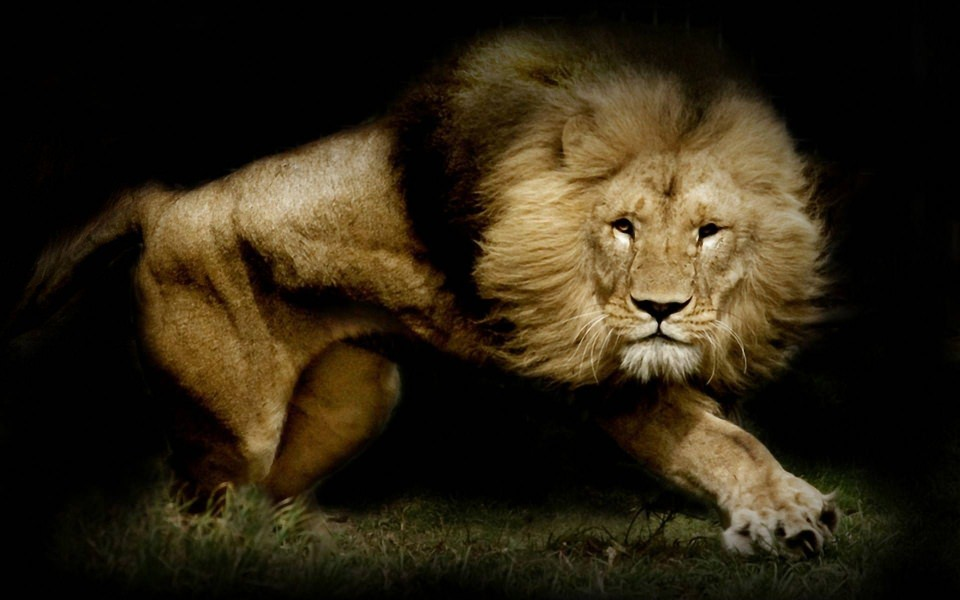 Download Lion 4k Hd Photos Iphone Desktop Background Wallpaper Getwalls Io