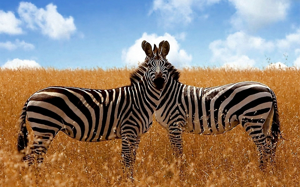 Download Scalamandre Zebras Wallpaper 4K Free HD Download ...