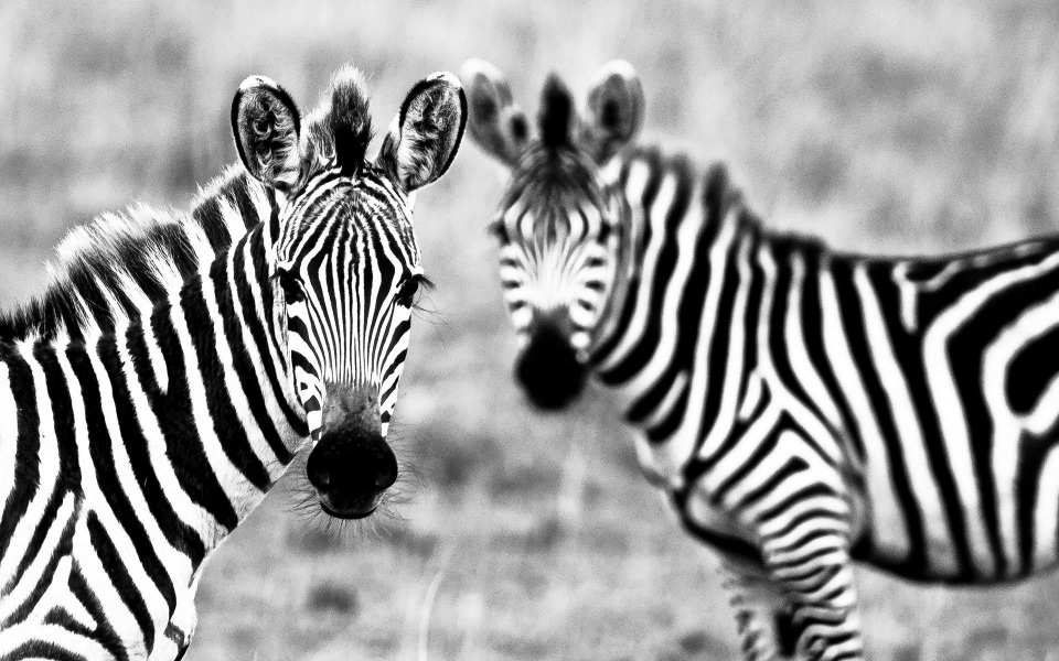 Download Scalamandre Zebras 4K 8K Free Ultra HQ iPhone ...