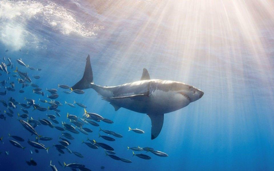 Download Shark Best Live Wallpapers Photos Backgrounds ...