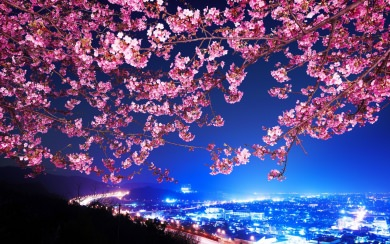 Download Cherry Blossoms Wallpaper Android Wallpaper Getwalls Io