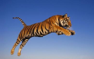 Download Tiger Wallpaper Iphone Wallpaper Getwalls Io